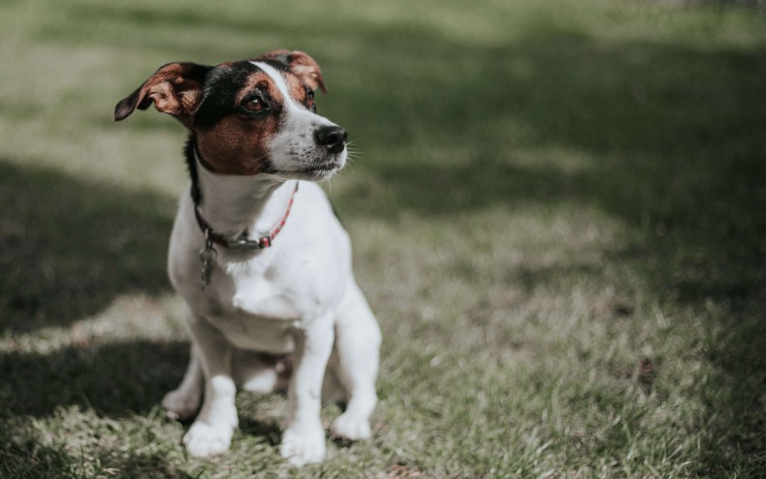 Everything You Need to Know About Microchipping Your Pet
